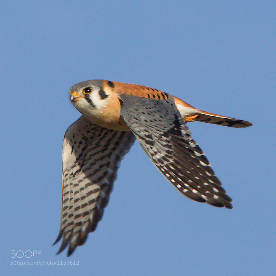 Photograph American Kestrel by Phil Armishaw on 500px