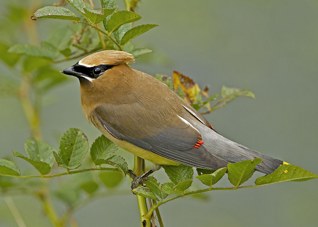 Photograph Cedar Waxwing by William Potter on 500px