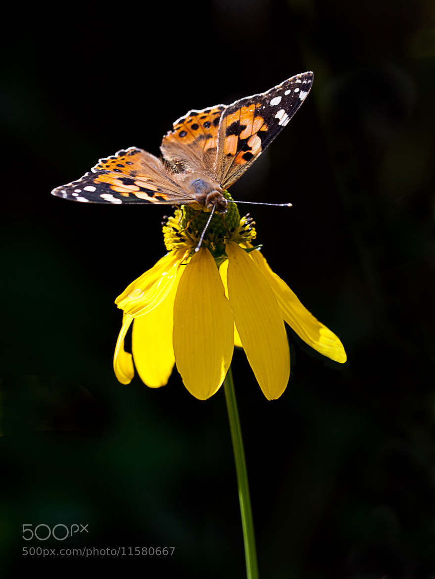 Photograph Painted Lady (Vanessa cardui) I by Serge Gagné on 500px