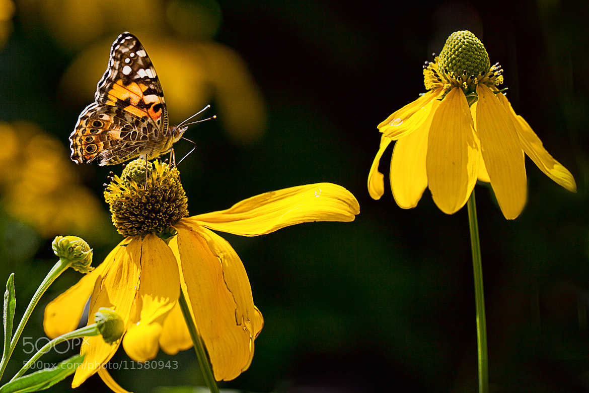Photograph Painted Lady (Vanessa cardui) II by Serge Gagné on 500px