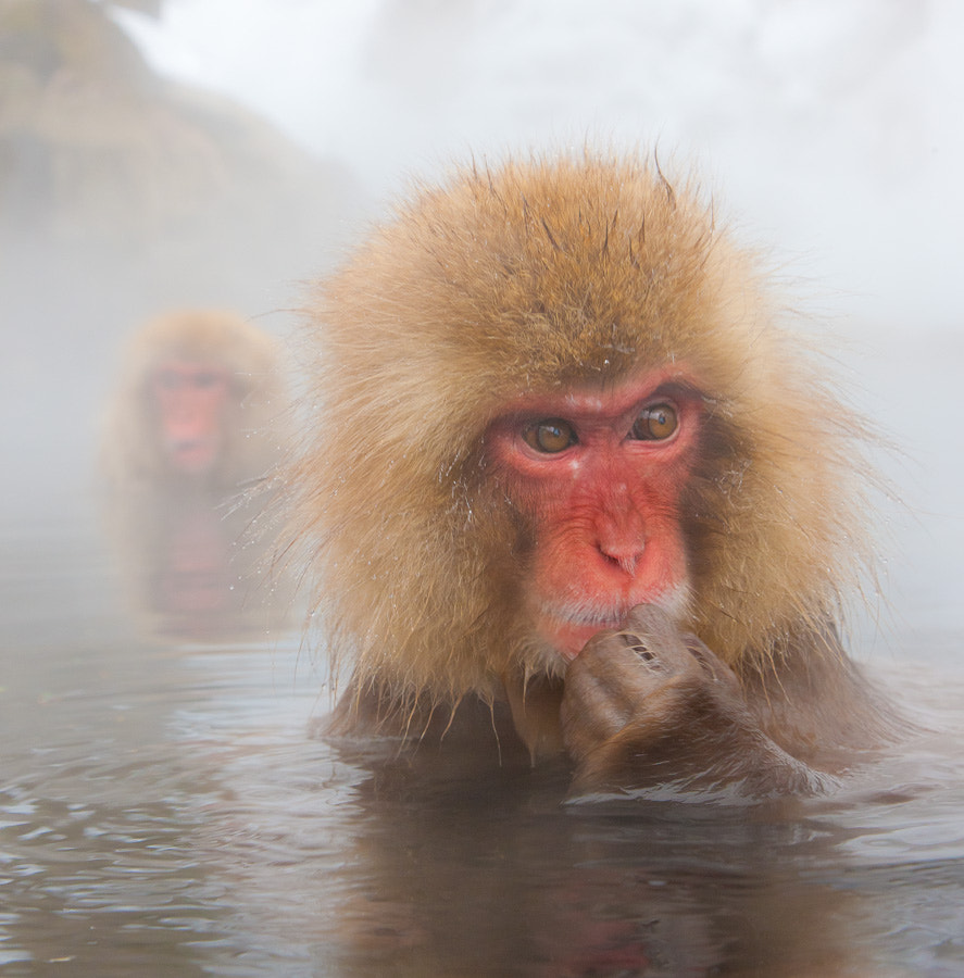 Photograph Snow Monkey #2 by Thomas Knoll on 500px