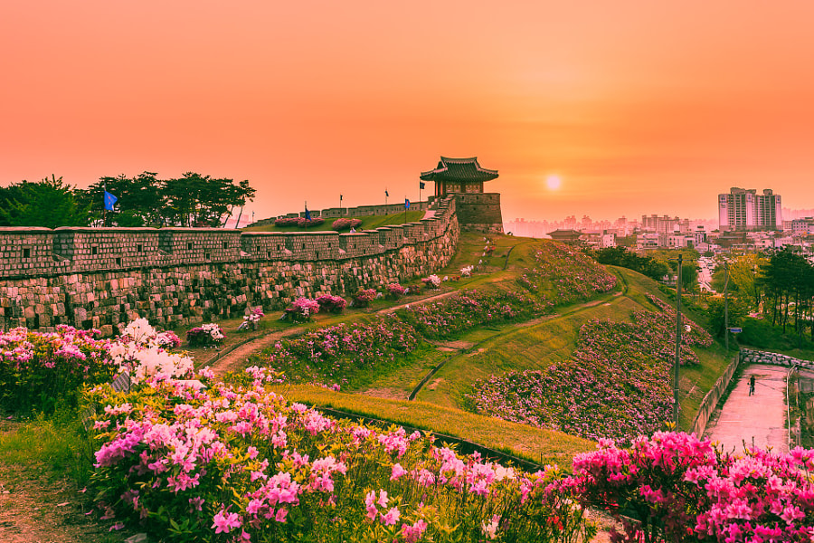 Azaleas in suwon castle by naive Choi on 500px.com
