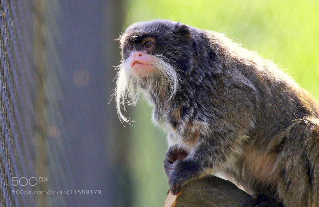 Photograph Monkey with a gorgeous moustache by Rainer Leiss on 500px