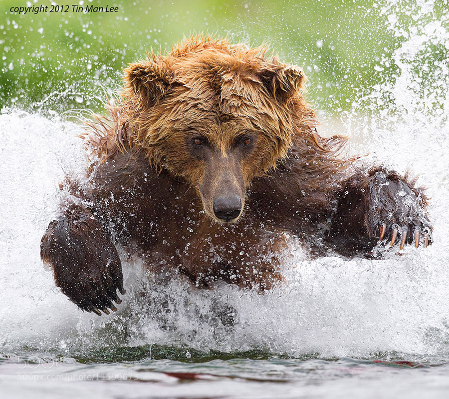 brown bear bathing