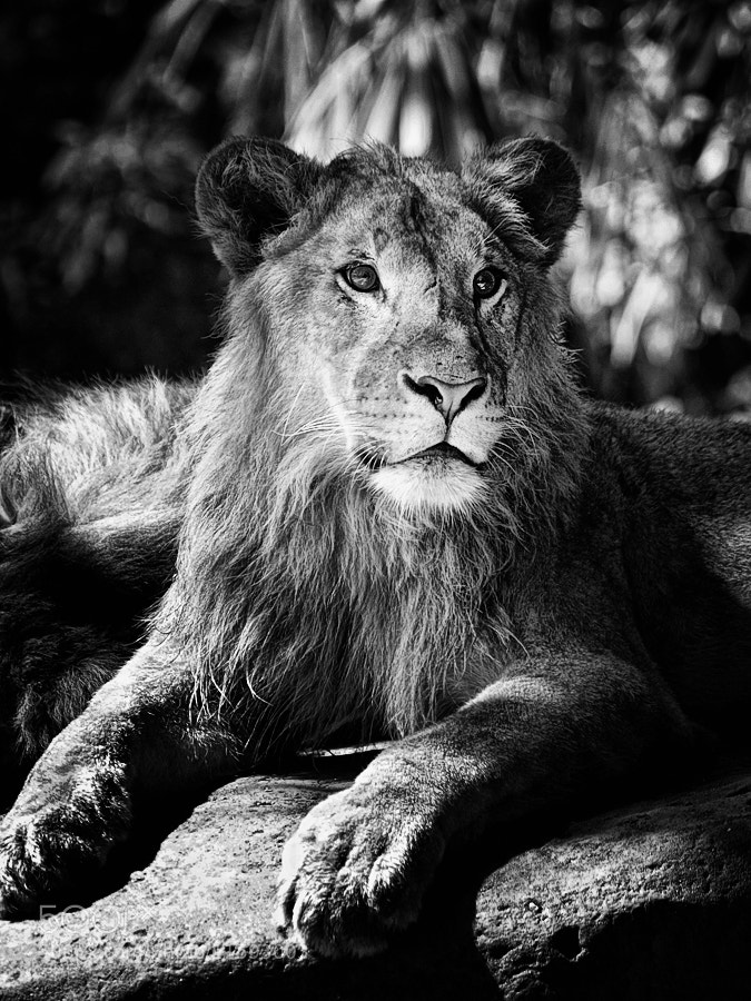 Photograph Lion by Anton Rahmadi on 500px