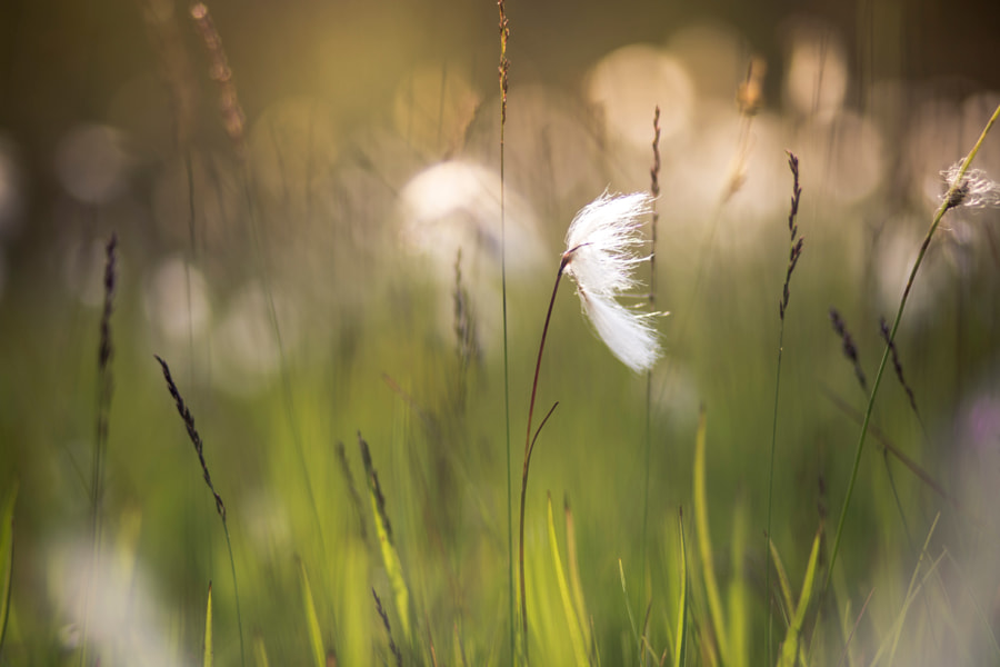 Eriophorum in the evening
