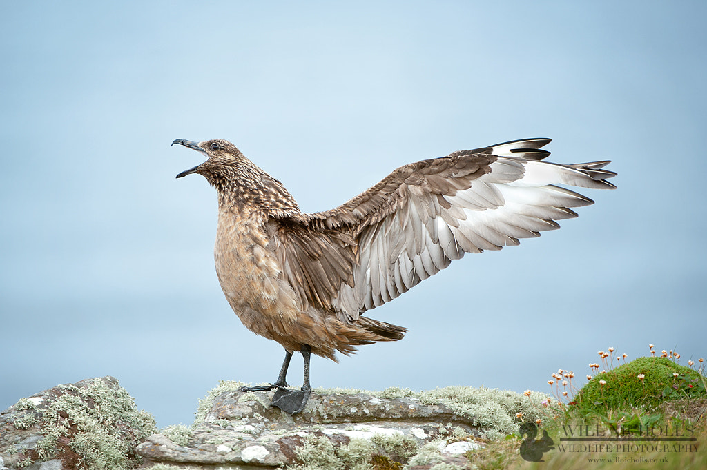 Photograph Great Skua Displaying by Will Nicholls on 500px