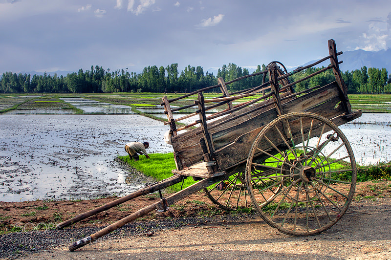 Photograph Rice Field by Salih Zorbozan on 500px