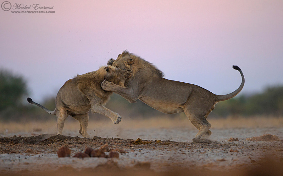 Twilight Tussle by Morkel Erasmus on 500px.com