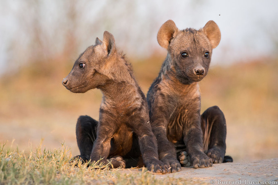 Photograph Baby Hyenas by Will Burrard-Lucas on 500px