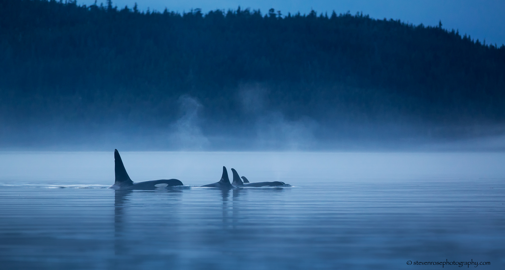 About >> Johnstone Strait Orca pod by Steven Rose - Photo 116044901 - 500px