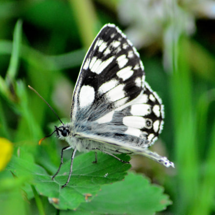 Marble White Butterfly #2