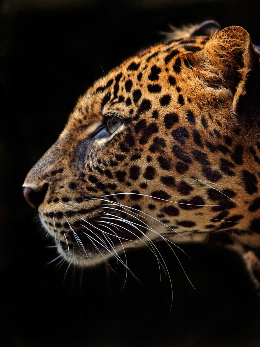 Photograph Panthera Pardus by Irawan Subingar on 500px