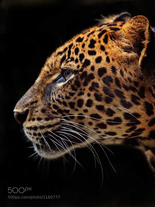 Photograph Panthera Pardus by Irawan Subingar on 500px