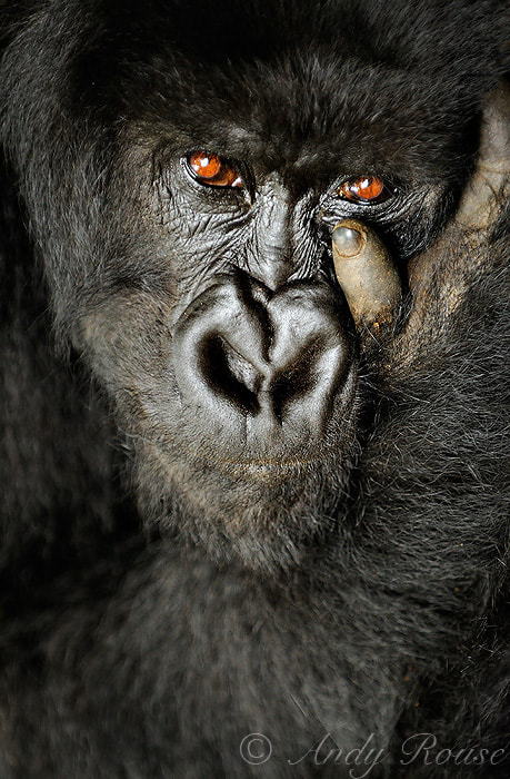 Photograph Wild Eyes by Andy Rouse on 500px