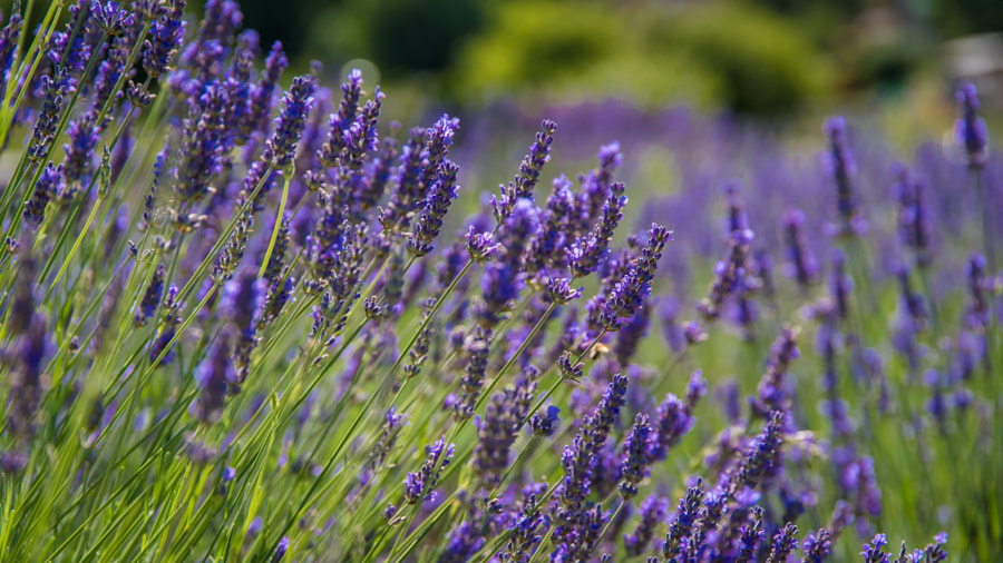 __Lavender in Front and Behind.jpg__