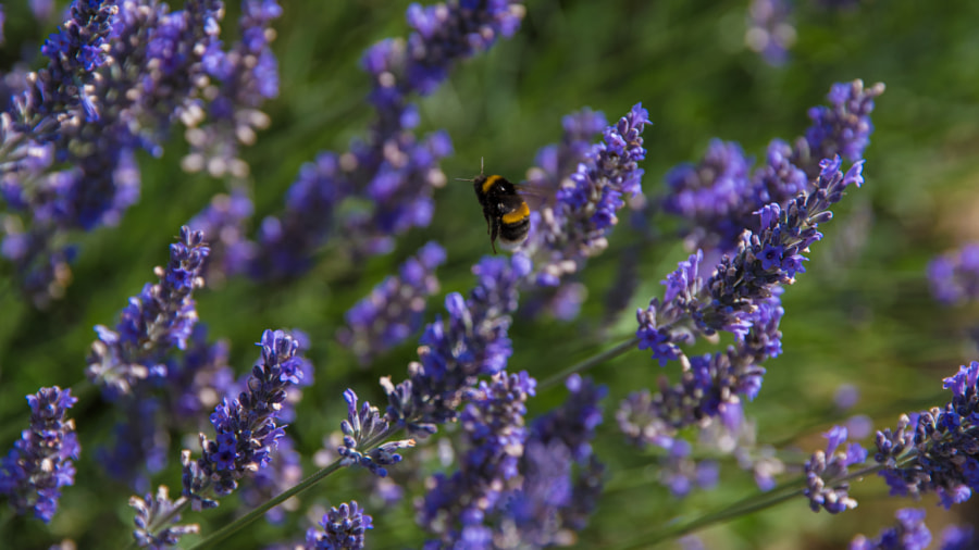 __Bee in Flight Amongst Lavender.jpg__