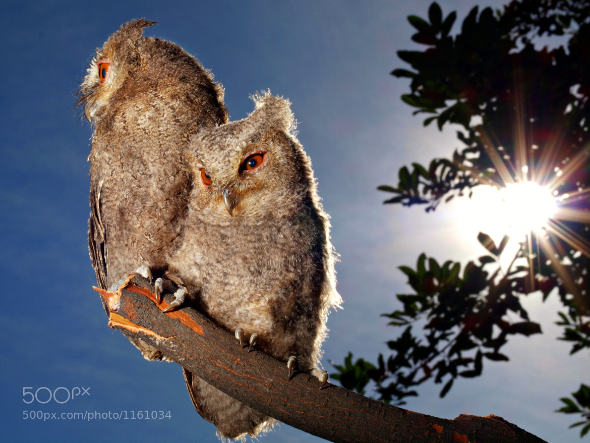 Photograph Two owlets in sunlight by Irawan Subingar on 500px