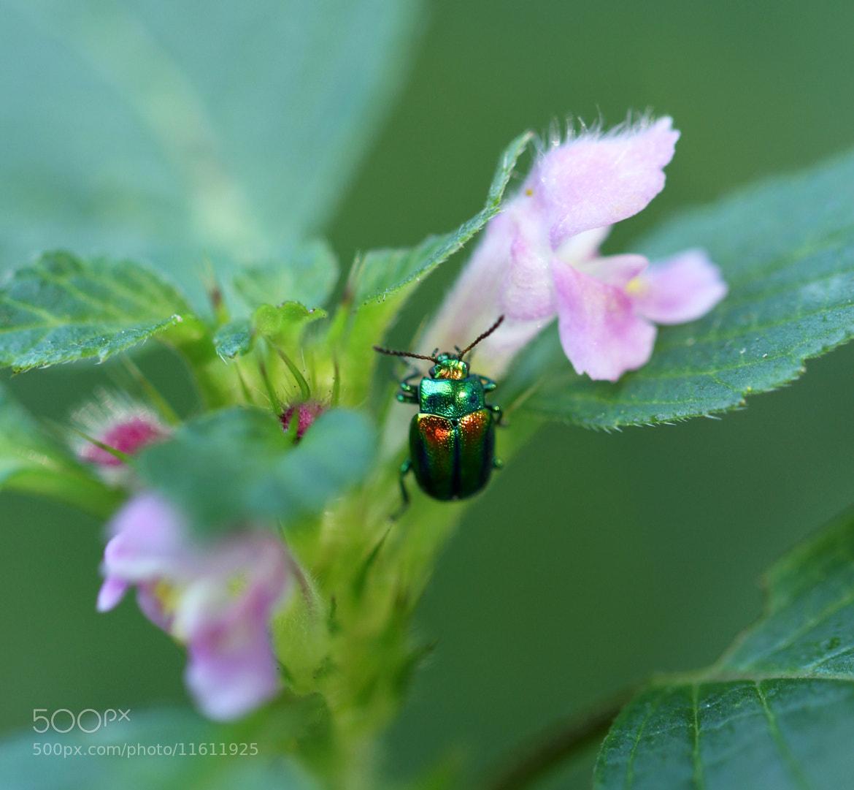 Photograph Leaf Beetle by Martijn Dirks on 500px