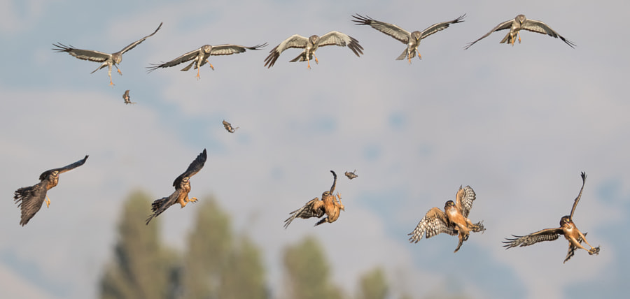 Photograph Northern Harrier Food Exchange by Phoo (mallardg500) Chan on 500px