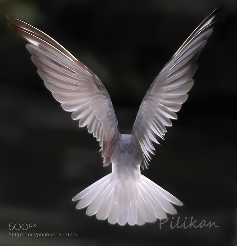 Photograph Wing of Angel by Pilikan Ch on 500px