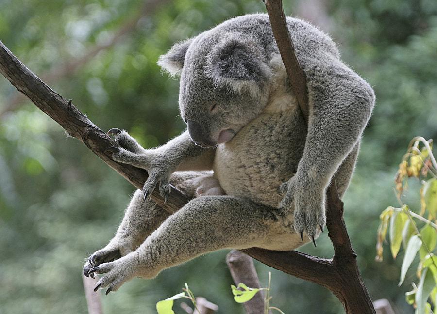 Koala bear by Richard Simmonds on 500px.com