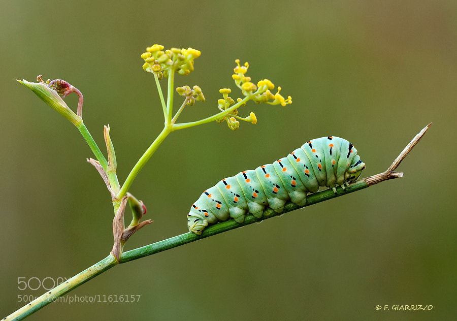 Photograph Papilio machaon caterpillar by Fabio Giarrizzo on 500px