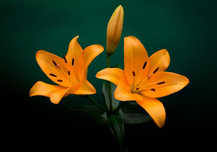 Lilium bulbiferum by EncroVision  on 500px.com