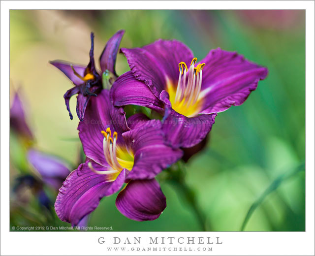 Photograph Purple and Yellow Lilies by G Dan Mitchell on 500px