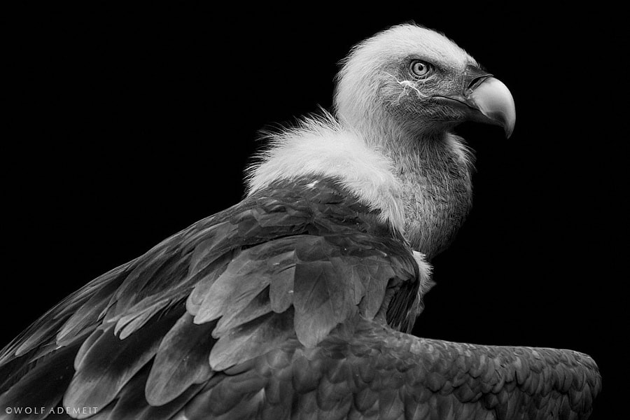 vulture by Wolf Ademeit on 500px.com