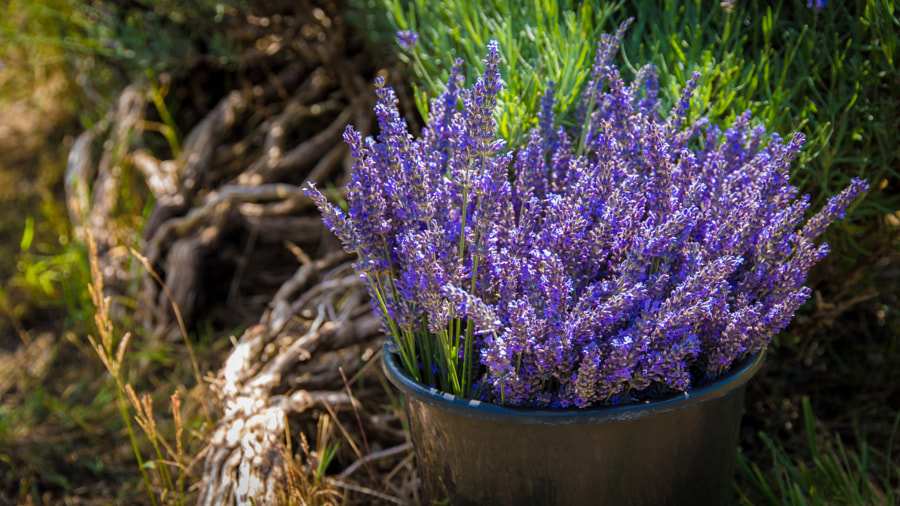 __A Bucketful of Lavender.jpg__