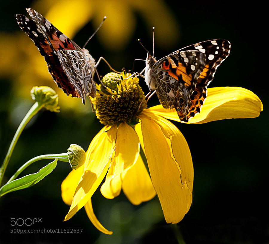 Photograph Painted Lady (Vanessa cardui) III by Serge Gagné on 500px