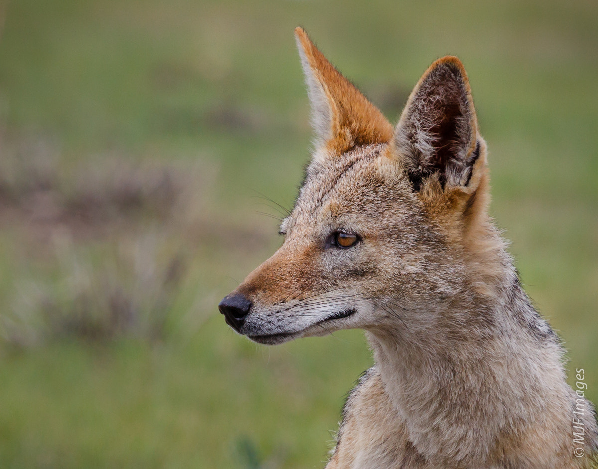 Photograph Jackal by Michael Flaherty on 500px