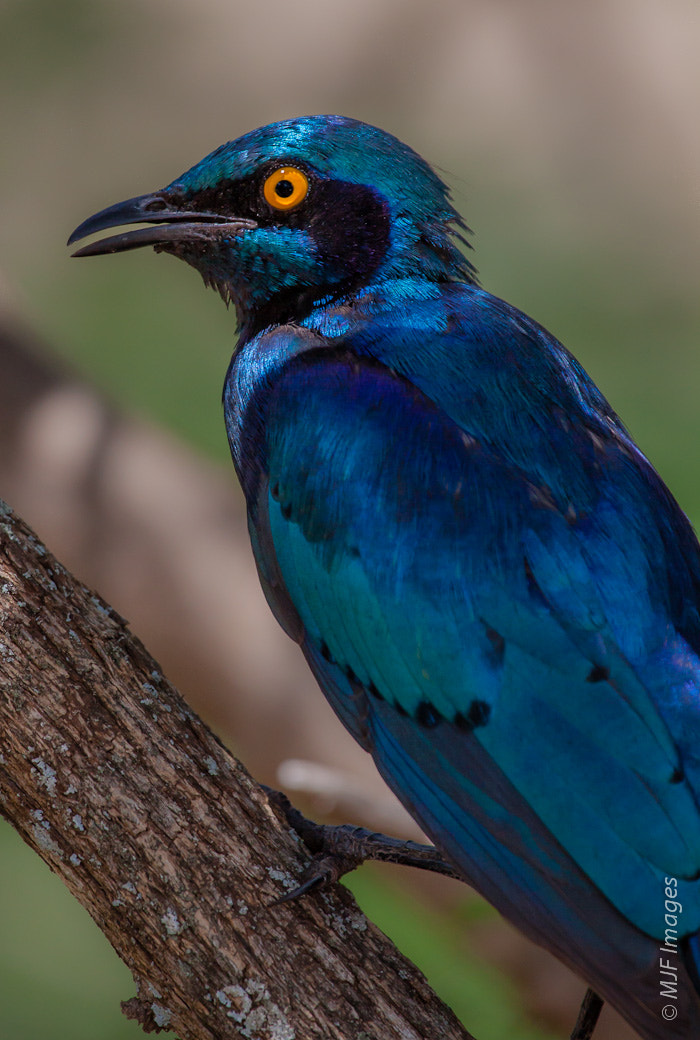 Photograph Cape Glossy Starling by Michael Flaherty on 500px