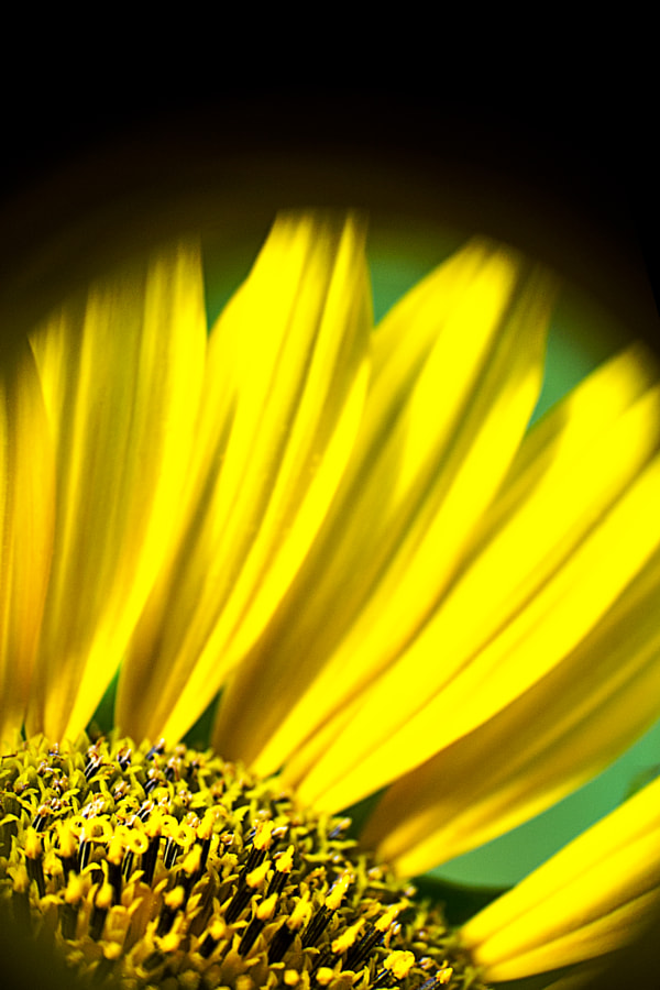 Photograph Sunflower Spot (wiko) by Jeff Carter on 500px