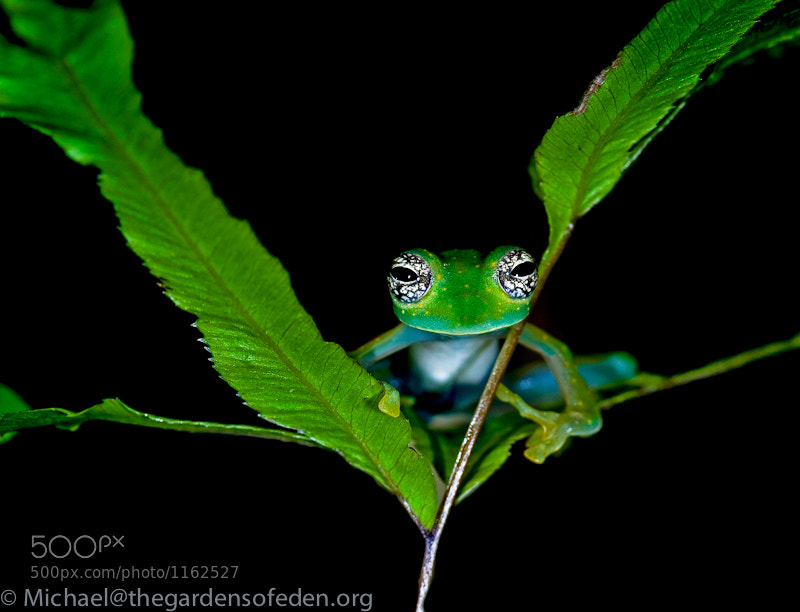 Photograph Cochranella albomaculata, White Spotted Glass Frog by Michael Kern on 500px