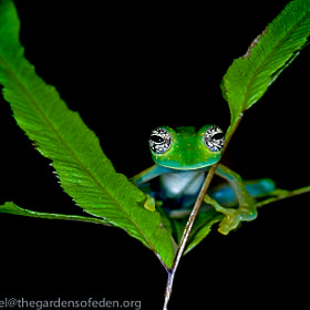 Cochranella albomaculata, White Spotted Glass Frog by Michael Kern (thegardensofeden)) on 500px.com