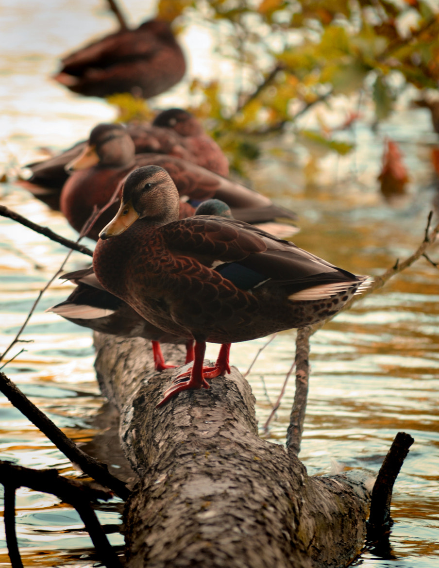Photograph Ducks at Newmillerdam by Youngman Images on 500px