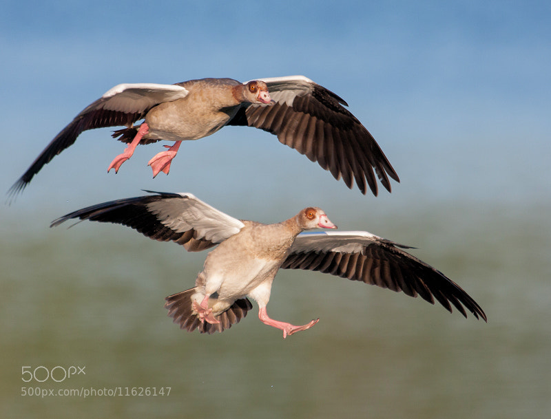 Photograph Egyptian Goose / Nijlgans by Marcel van Os on 500px