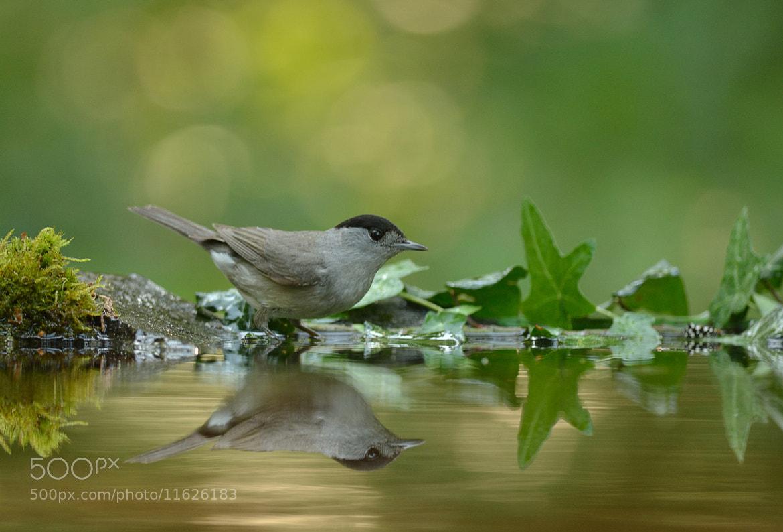 Photograph Bird Reflection by Csilla Zelko on 500px