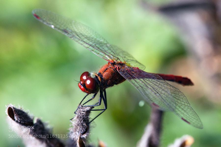 Photograph Dragonfly by Denis Belyaev on 500px