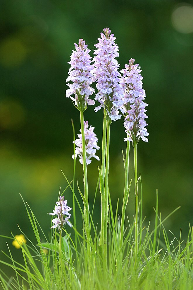 Photograph Wild Orchids by Richard Loader on 500px