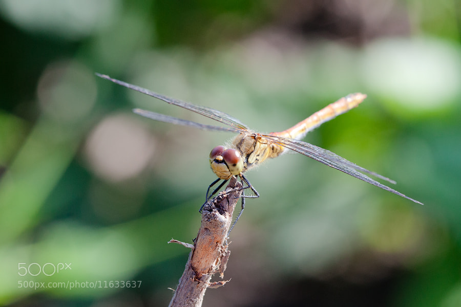 Photograph Dragonfly by Denis Belyaev on 500px