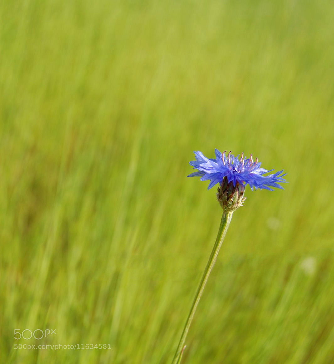 Photograph Blue Flower  by Petya Georgieva on 500px