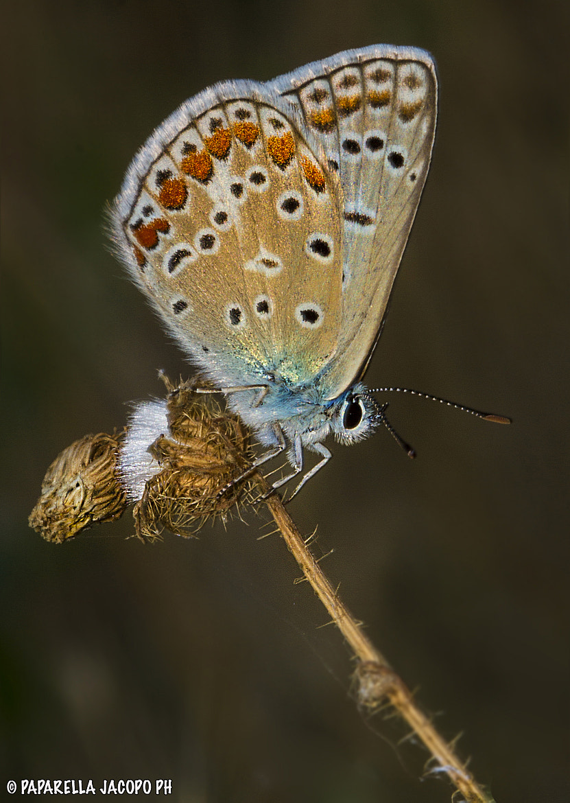 Photograph Butterfly by Jacopo Paparella on 500px