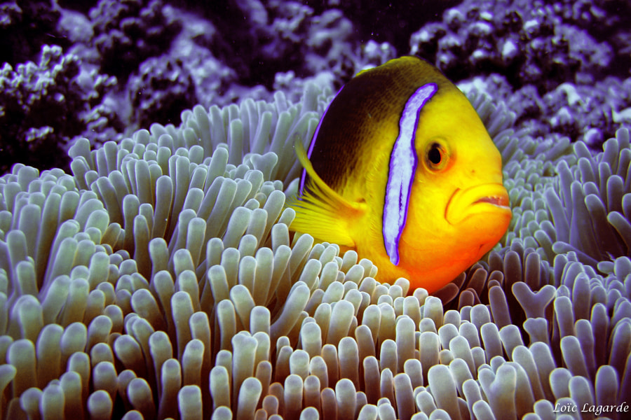 Clown Fish in Moorea