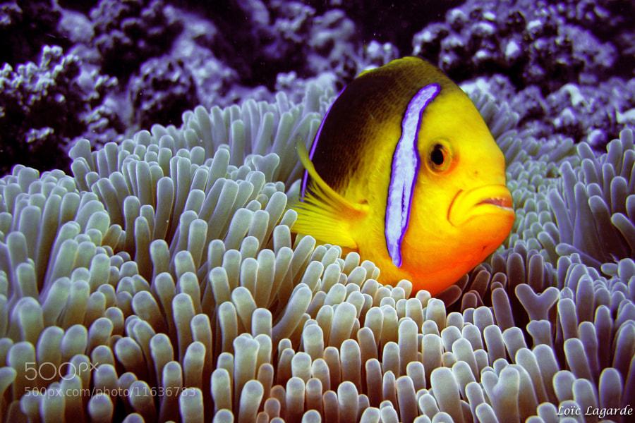 Clown Fish in Moorea