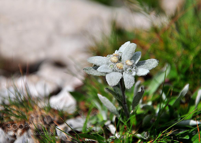 Photograph Edelweiss by Gitta Sladič on 500px