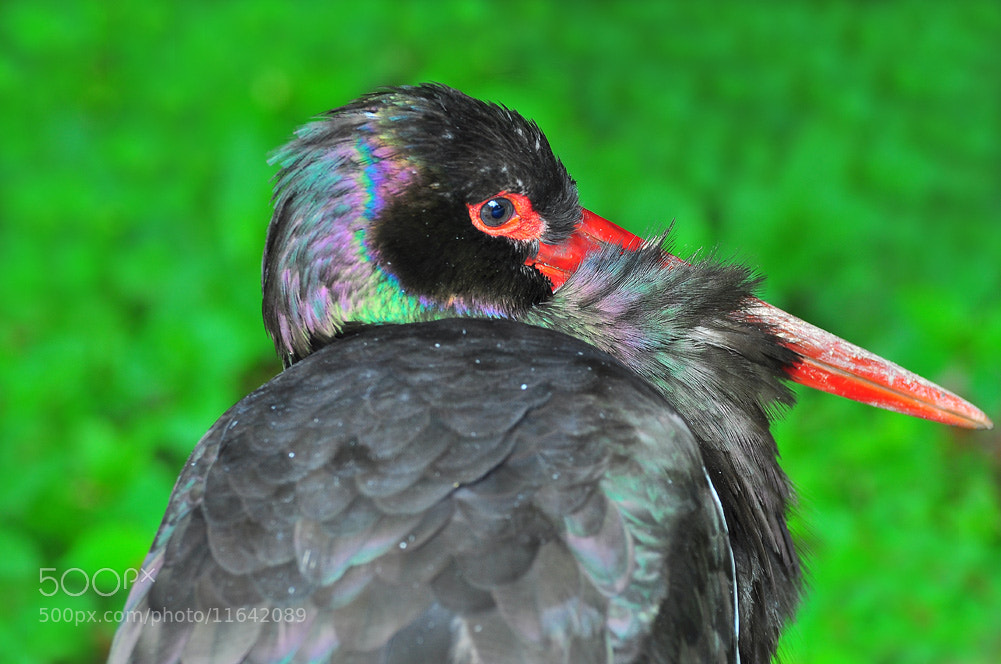 Photograph black Stork by Gitta Sladič on 500px