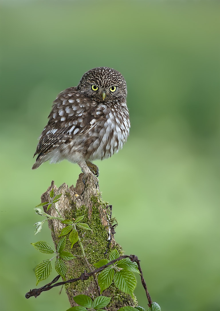 Photograph Little Owl by Dale Sutton on 500px